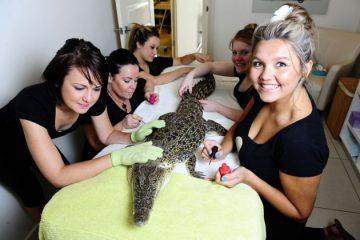 Cá sấu cũng được đi spa như người